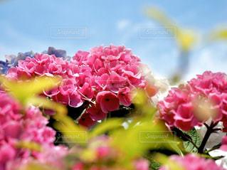 ピンクの花の写真・画像素材[2875160]
