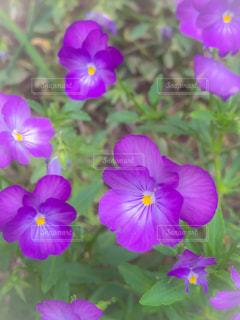 紫色の花の束の写真・画像素材[2876054]