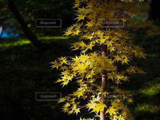 緑の葉を持つ黄色い花の写真・画像素材[2888458]