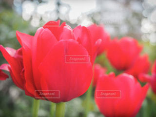 赤い花のクローズアップの写真・画像素材[2921318]