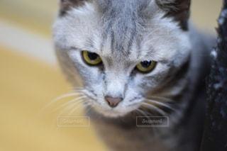 カメラを見ている猫のクローズアップの写真・画像素材[2925931]