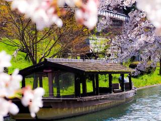 桜と屋形舟の写真・画像素材[3083112]