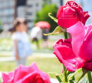 バラと女の子の写真・画像素材[3213937]