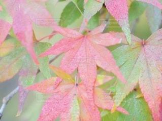 ピンクの花を持つ木の写真・画像素材[3487012]