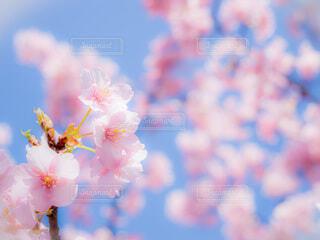 桜の写真・画像素材[4216175]