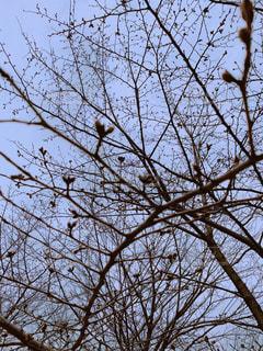 まだつぼみの桜の木の写真・画像素材[3051873]