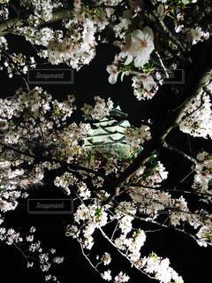 桜の写真・画像素材[357458]
