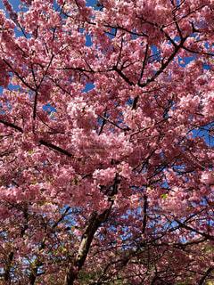 満開の春桜の写真・画像素材[1832977]