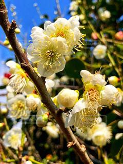 緑萼梅の花の写真・画像素材[1833722]