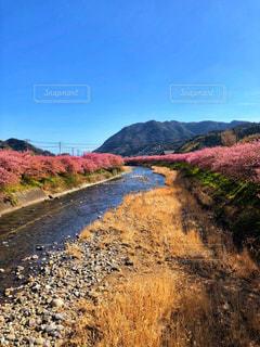 河津桜春景色の写真・画像素材[1833905]