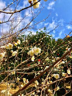 緑萼梅の花の写真・画像素材[1835471]