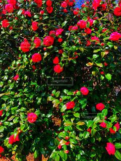 満開の椿花模様の写真・画像素材[1858210]