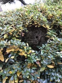 植木の中にスズメバチの巣の写真・画像素材[931702]