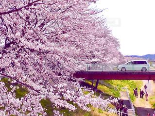 大河原の桜 - No.383032