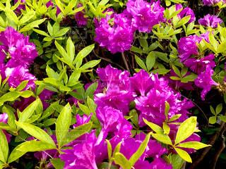 近くに紫の花の房のアップの写真・画像素材[752919]