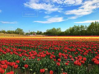 フィールドに赤い花の写真・画像素材[764400]