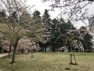 公園の大きな木の写真・画像素材[764413]