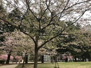 公園の真ん中の木の写真・画像素材[764417]