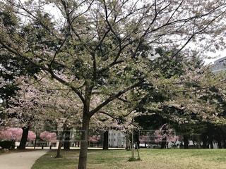 公園の大きな木の写真・画像素材[764419]