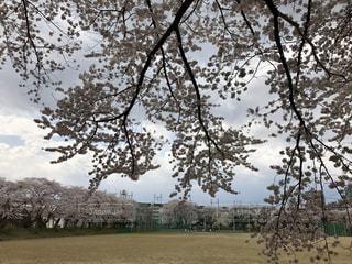 桜の写真・画像素材[764448]