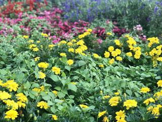 フィールド内の黄色の花 - No.764837