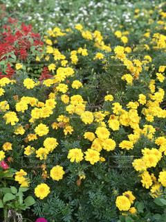黄色の花の写真・画像素材[764845]