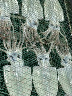 イカの写真・画像素材[1538204]