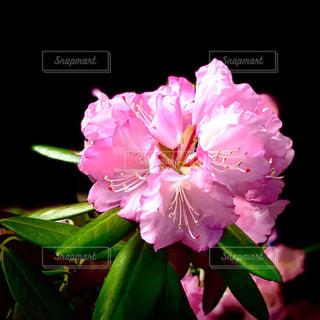 石楠花まつりの写真・画像素材[2081379]