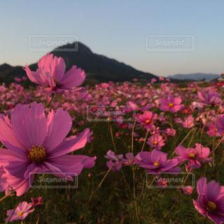 花の写真・画像素材[327701]