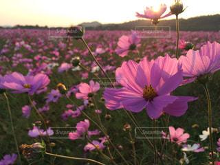 花の写真・画像素材[327703]