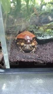 カエルの写真・画像素材[699059]