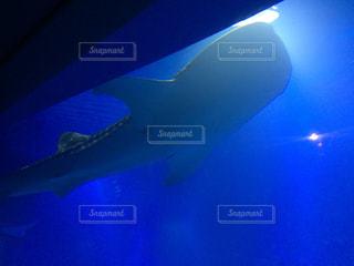 ジンベイザメの写真・画像素材[328843]