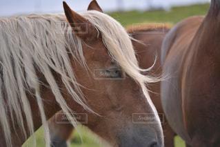 寒立馬の横顔の写真・画像素材[337272]
