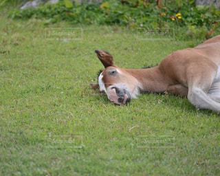 倒れている寒立馬の写真・画像素材[337355]