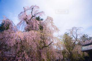 角館の桜の写真・画像素材[376003]