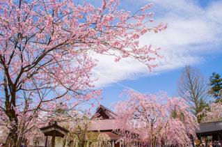 角館の桜の写真・画像素材[376016]