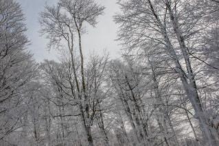 森吉山の木々の写真・画像素材[901413]