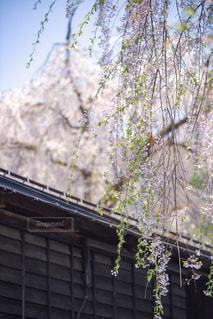 黒塀と枝垂れ桜の写真・画像素材[1177769]
