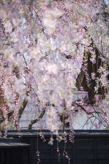 枝垂れ桜の写真・画像素材[1177770]