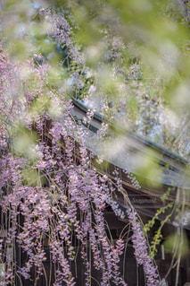 枝垂れ桜と葉桜の前ボケの写真・画像素材[1177772]