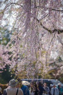 枝垂れ桜と観光客の写真・画像素材[1177778]