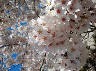 春の写真・画像素材[337911]