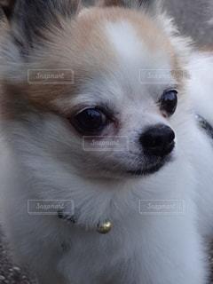 カメラを見て、小さな茶色と白のチワワ犬の写真・画像素材[1060105]