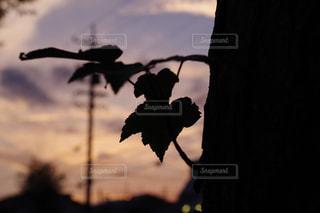 夕暮れの木の葉のシルエットの写真・画像素材[1065977]