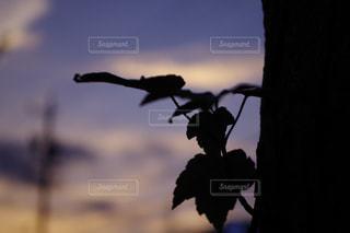 夕暮れ時の木の葉の写真・画像素材[1065978]