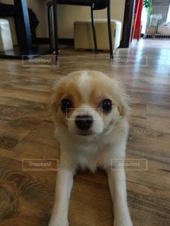 床に座って、小さな茶色と白犬の写真・画像素材[1066309]