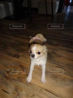 床の茶色と白の犬の地位の写真・画像素材[1066312]