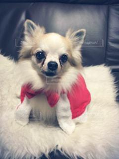 茶色と白の小型犬の写真・画像素材[1076270]