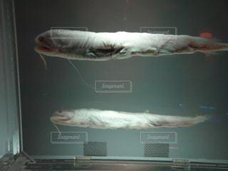 魚の標本の写真・画像素材[1076443]