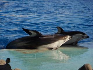 並ぶイルカの写真・画像素材[1076807]